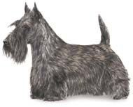 scottie-akc