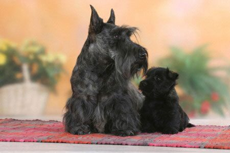 scottish_terrier_03